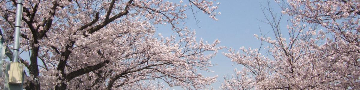 境川沿いの桜並木